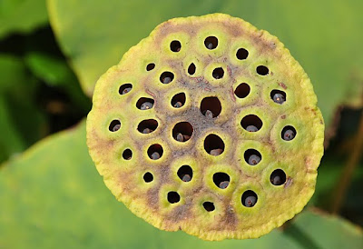 Trypophobia inducing seed head of sacred lotus (Nelumbo nucifera)