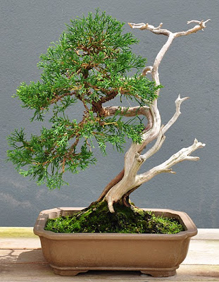 Bonsai Juniperus chinensis var. sargentii, driftwood style