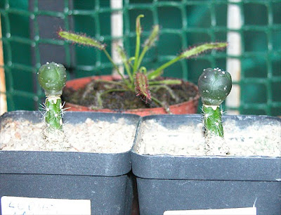 Two Lophophora alberto-vojtechii seedlings grafted on Selenicereus grandiflorus