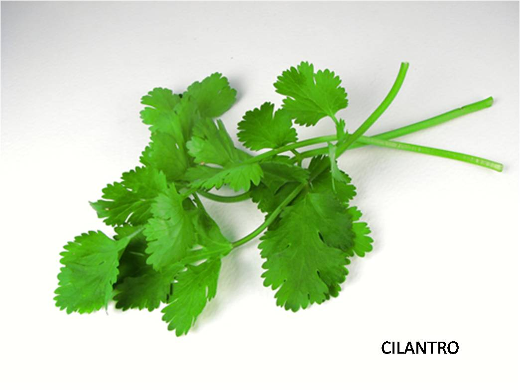 latin american cook cilantro our herb our flavor
