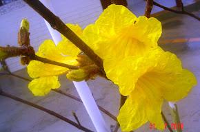 Ipê Amarelo (Orig. Brasil)