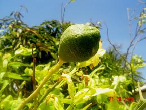 Limão (Orig. Continente Asiático)