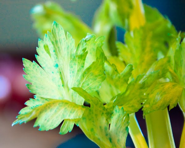 Science lesson plan for the celery experiment