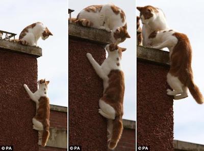 gato aranha escalando o muro