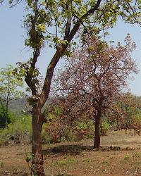 MAHUA TREE (जंगल के फूल का पेड़)