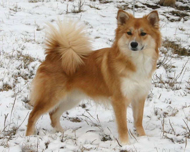 Follow the Piper: ICELANDIC SHEEPDOGS