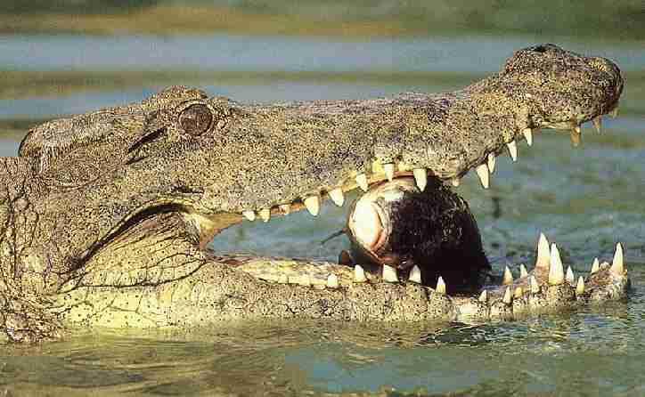 World's Largest Crocodile Ever