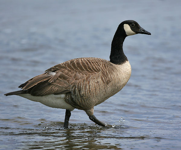 Canada Goose coats online fake - Follow the Piper: CANADA GEESE