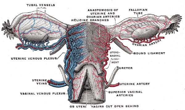 fallopian tubes  pain