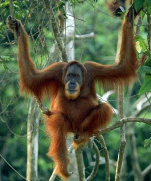 species of orangutan and