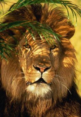 ������ ���� ���� Lion_009.jpg