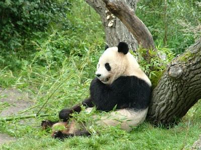 ���� ����� ������.....����� Panda-Eating-2.jpg