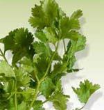 celery seledri