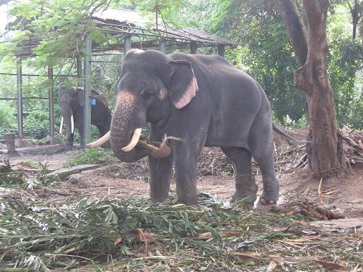 Indian Columbus: Punnathur Kotta Elephant Sanctuary ...