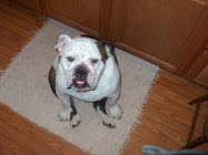 """Sullivan"", the English Bulldog"