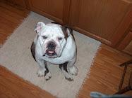 """""""Sullivan"""", the English Bulldog"""
