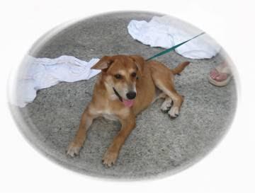Shiba+inu+mix+puppies