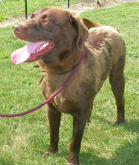 7/26/10 Tank NEEDS OUT the Chocolate Lab is in  The Guernsey Cty Pound OH Shelter