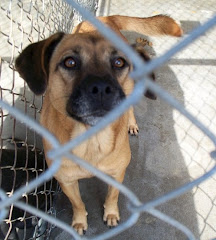 9/20/10 Boxer Mix Lacey Missed Her Death Date Twice. She Needs OUT!!