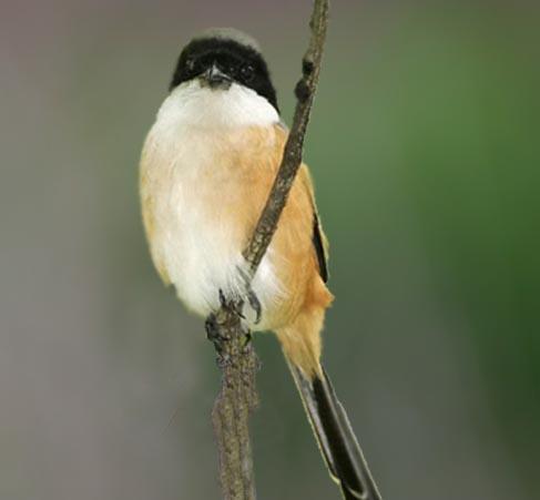 Populasi burung pentet di dataran tinggi dieng semakin