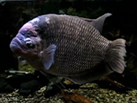 giant gourami fish