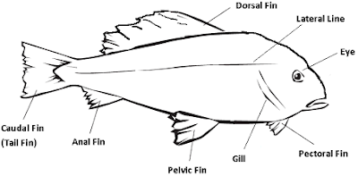Fish Anatomy Fins | RM.