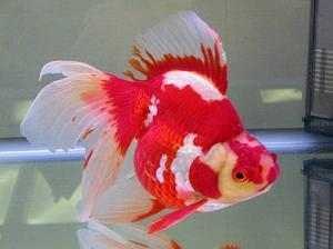 All About Aquarium Fish Goldfish Varieties Ryukin And Tosakin