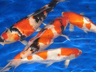 All about aquarium fish koi fish for Koi fish aquarium