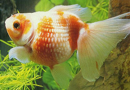 healthy goldfish