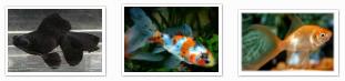 fast swimming goldfish