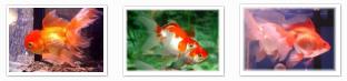 goldfish average swimmer