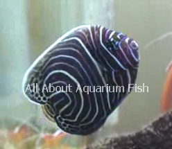 All about aquarium fish emperor angelfish diet care info for All fish diet