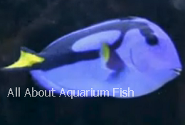 All about aquarium fish blue hippo tang care diet for All fish diet