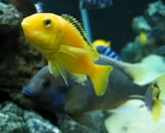 breeding tropical cichlids fish
