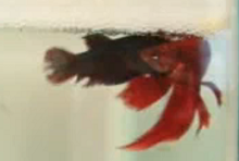 betta fish spawning