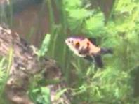 goldfish planted aquarium