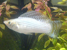 gray silver sailfin molly
