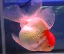 oranda with eggs