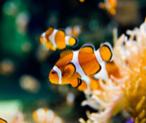 percular clown fish