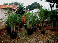 Pohon ajaib, pohon zaitun,pohon tin,pohon delima hitam,pohon sirih