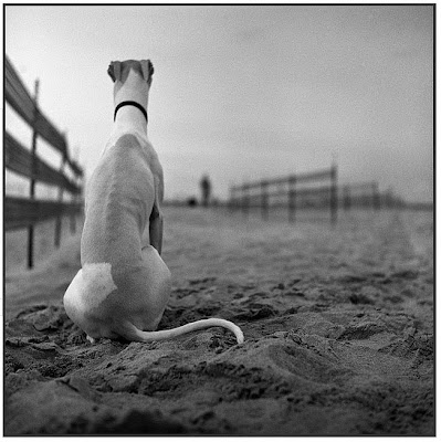 whippet photo whippets rescue