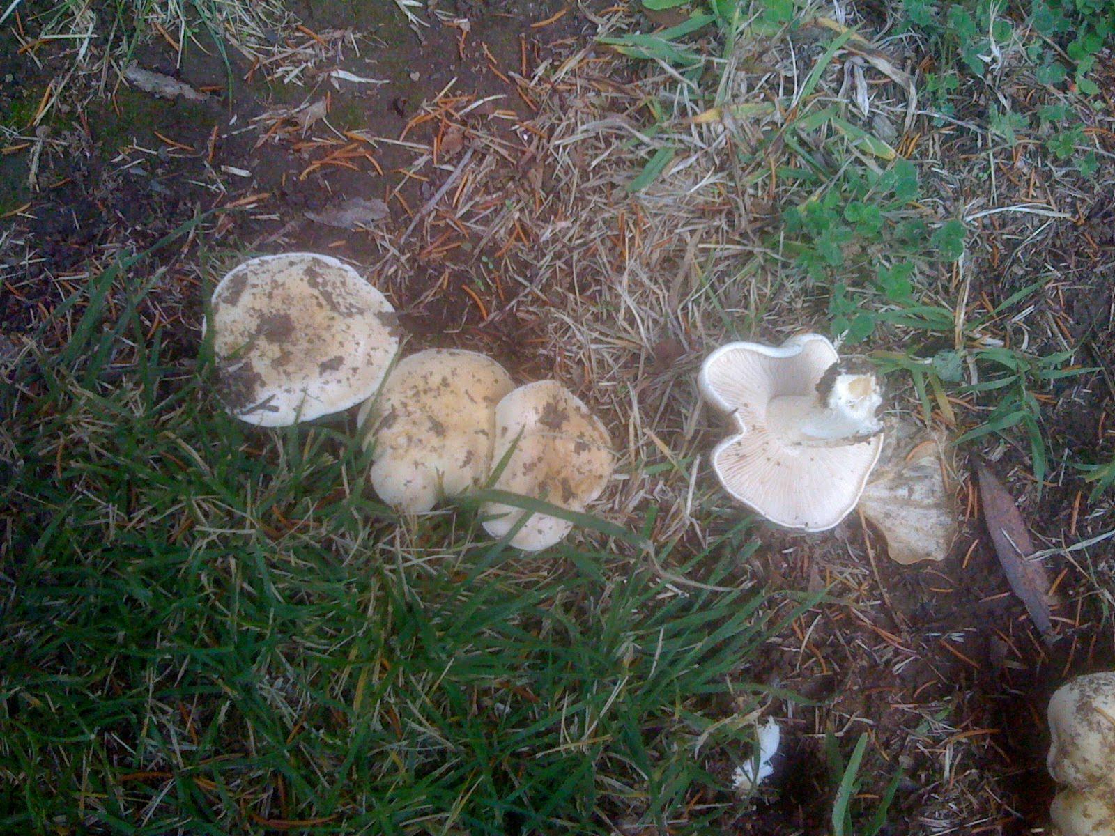 soilduck fanciful fungi 3 truffles in your backyard
