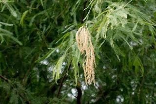 Mesquite Damage from Cicada Eggs