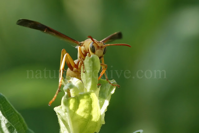 Golden Paper Wasp, Boyce Thompson Arboretum, AZ