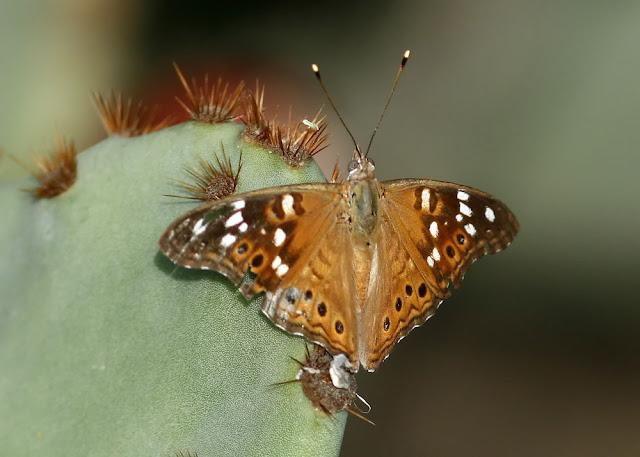 Empress Leilia Butterfly