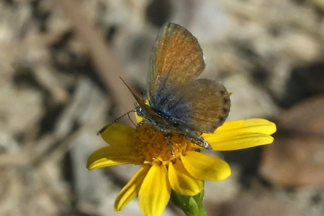 Western Pygmy-Blue Butterfly