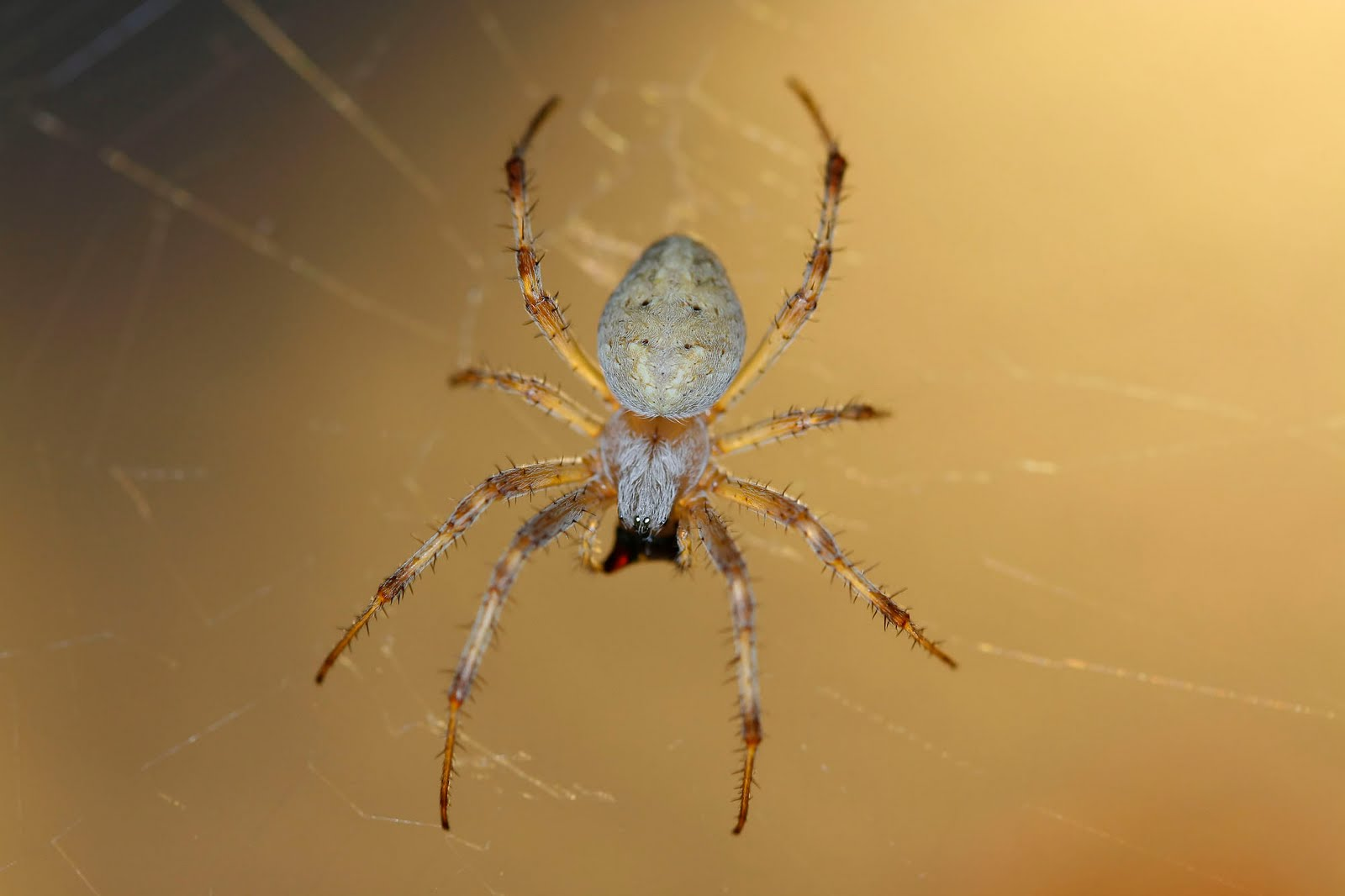 Nature\'s Archive Blog: Orb Weaver Spiders