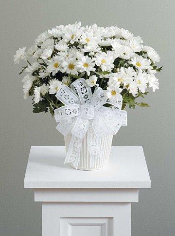 [daisy+White+mum+plant+$30.jpg]