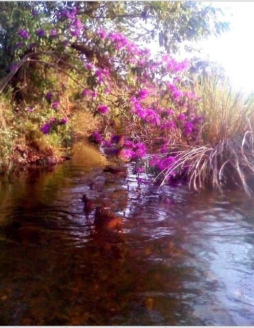 Tibouchina (Família Melastomataceae)quaresmeira roxa