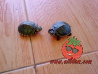 kura-kura diego dan dora 4